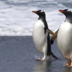 Gay-penguins-to-raise-chick-400x257